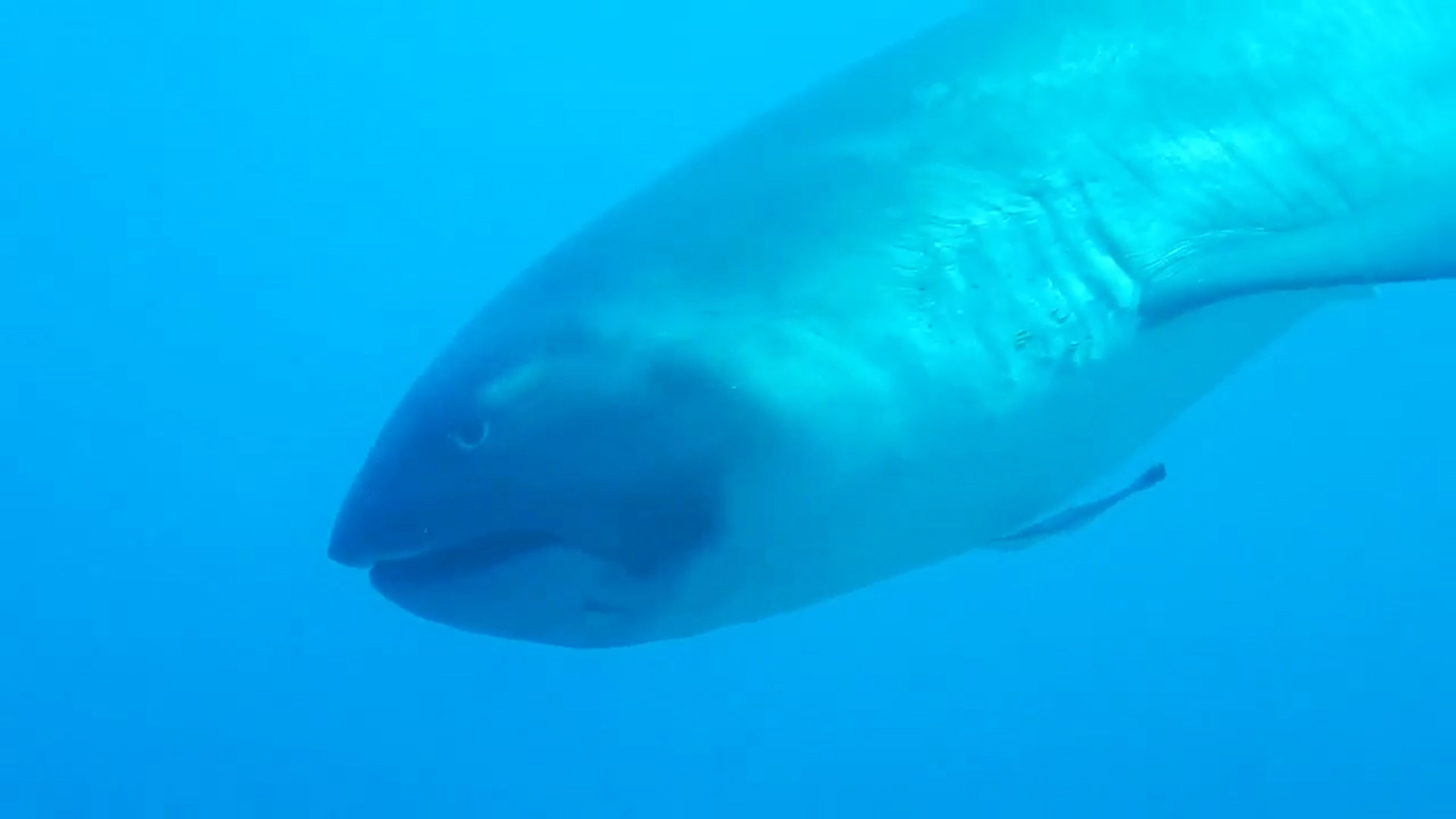 Extremely Rare Megamouth Shark Filmed - Nikon 2017-08-11 10:30